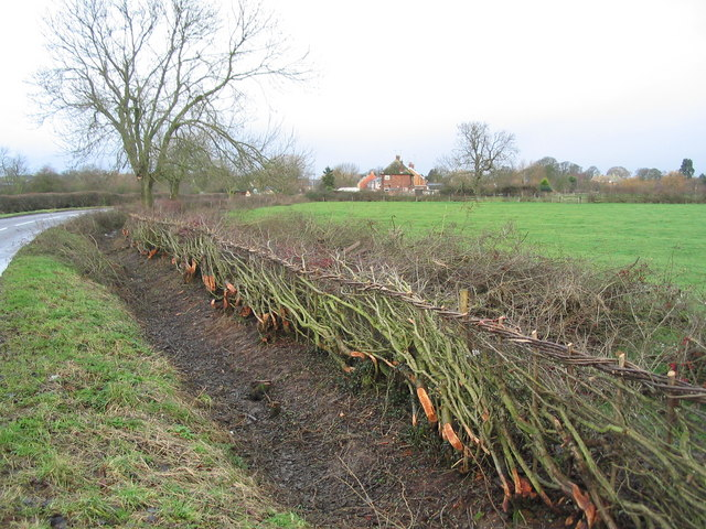 Newly laid hedge, entering Medbourne