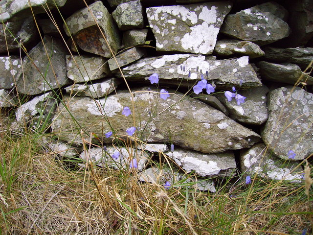 Harebells by stone dyke at Torrs Warren