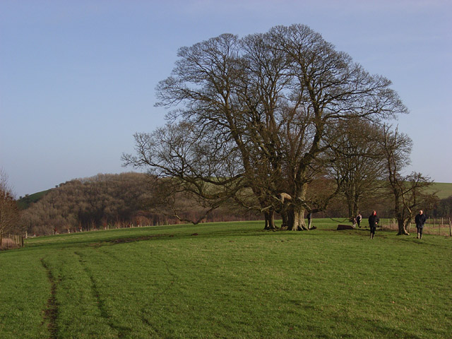 Beeches by the Wayfarers' Walk