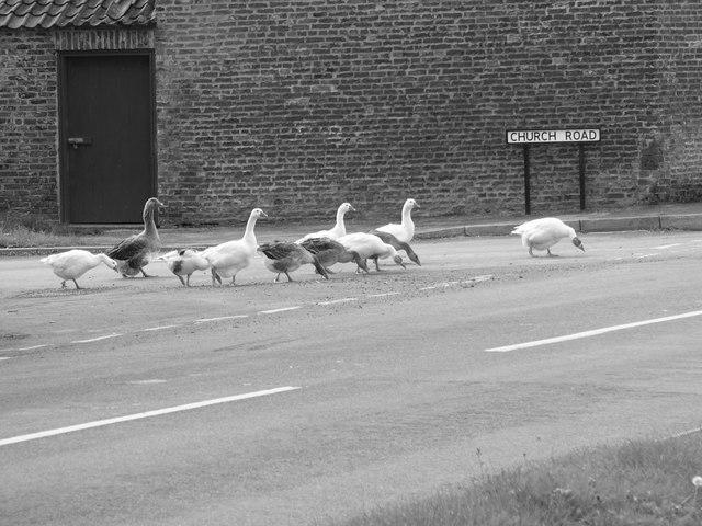 Geese eating spilt corn at Skeffling Cross Roads.