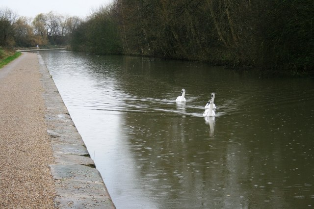 Three Juvenile Mute Swans, Beeston Canal