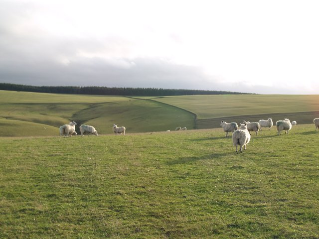 Grazing sheep, Toddle Burn valley