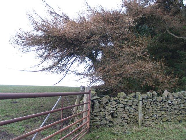Larch, Eastertoun Hill.