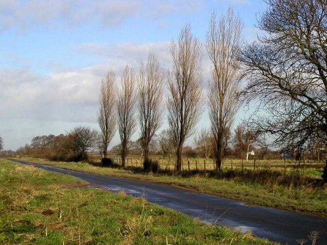 Roadside Poplars
