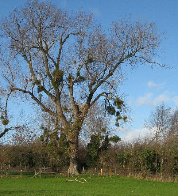 Mistletoe, January