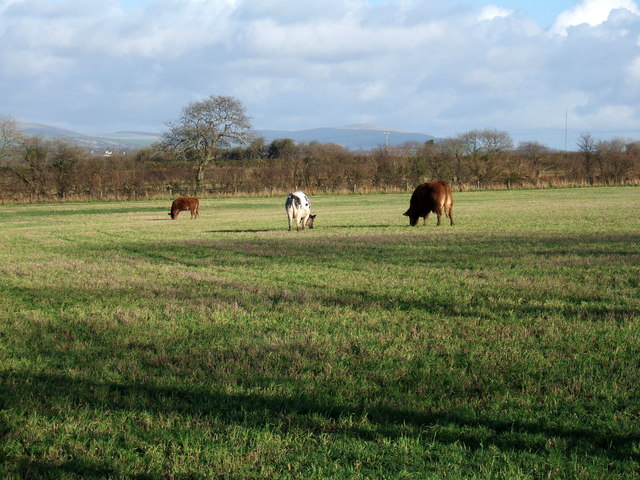 Grazing cattle west of Spittal