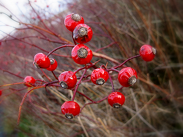 Winter hedgerow fruits