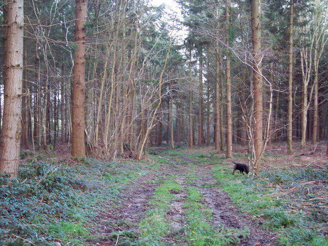 Forest Track at the Harewarren