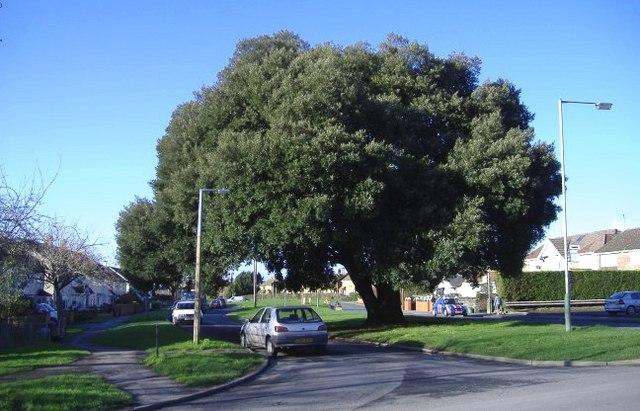 Holm oak, Moredon.