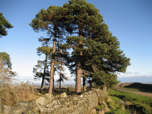 Scots Pine near Milestone Bank