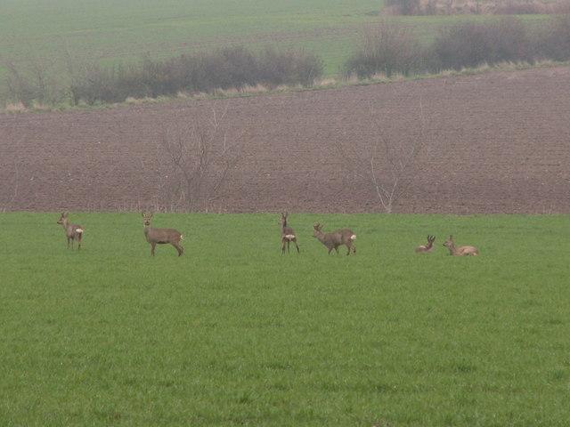 Roe deer on arable land