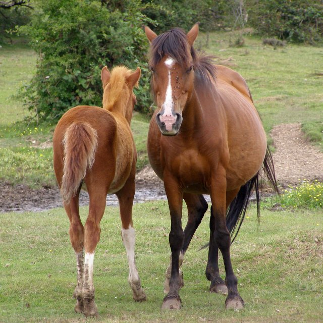 Pony and foal, Dibden Bottom, New Forest