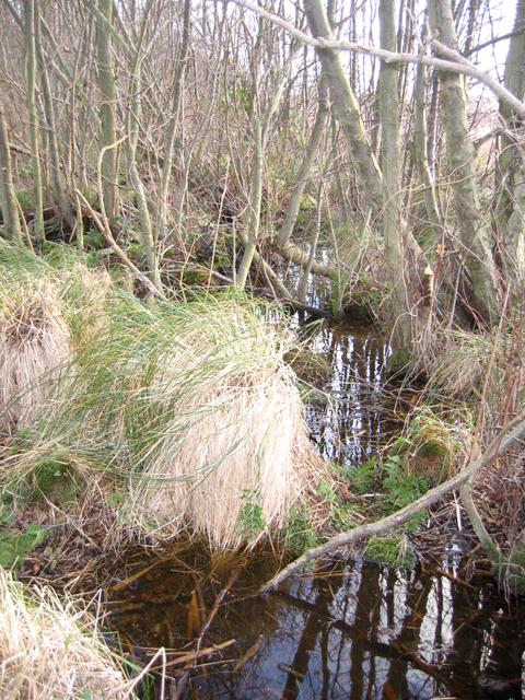 Swampy alder carr in Alderfen Broad Nature Reserve, Norfolk
