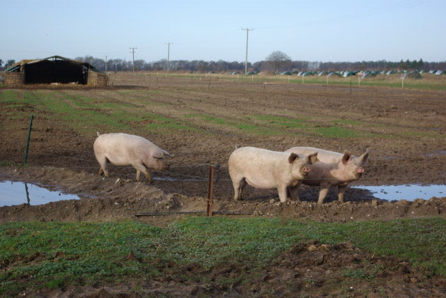 Pigs near Riddlesworth Hall