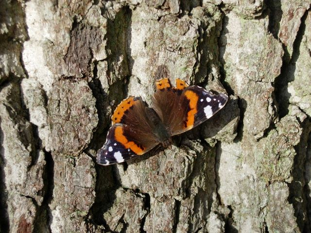 January Butterfly