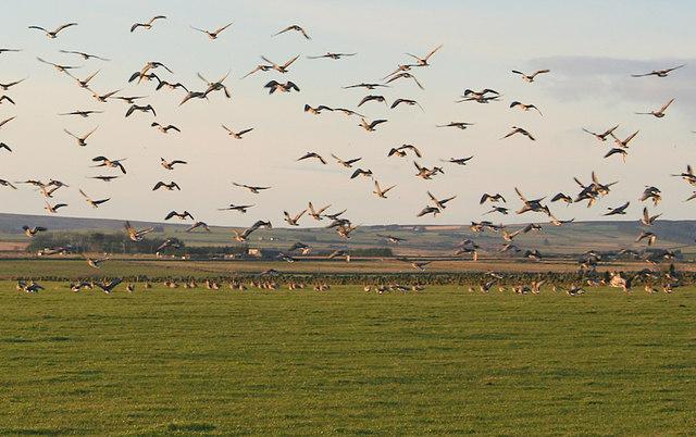 Wild Geese in a roadside field southwest of Rivehill Farm.