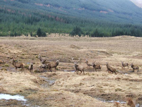 Deer in Glen Dessary
