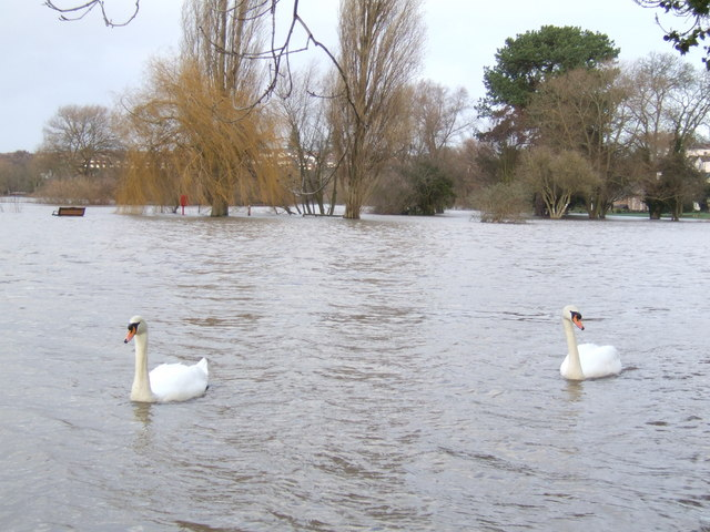 Swans on the floodwater