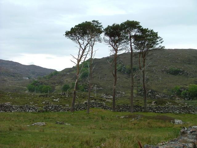 Five Scots Pine