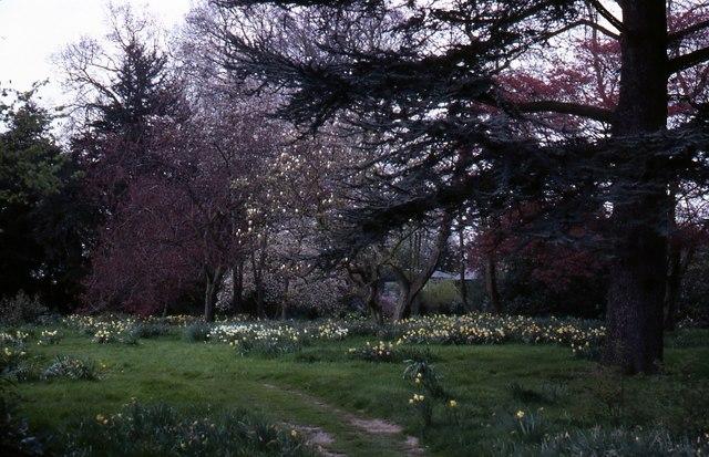 Daffodils at Beningborough