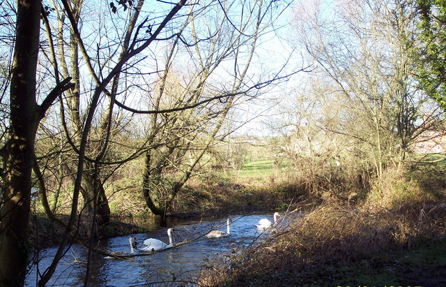 A Family of Swans on the River Ebble