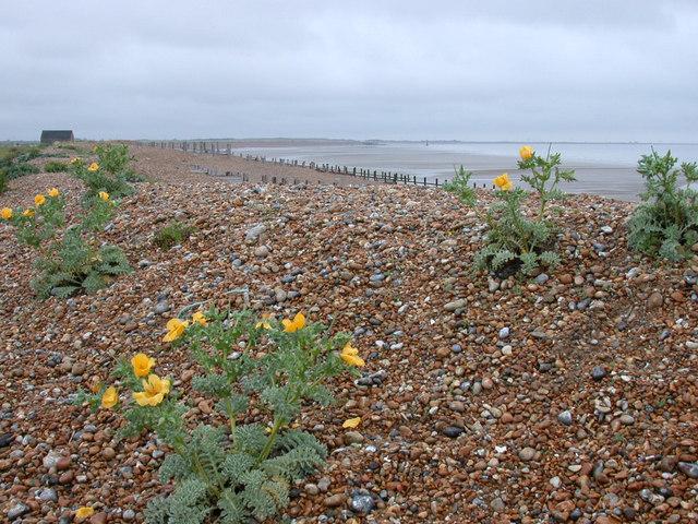 Yellow Horned-poppy