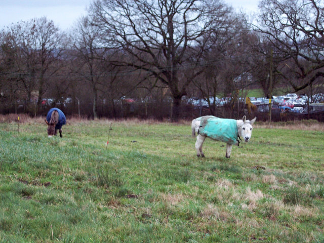Grazing Donkeys at Semley Common