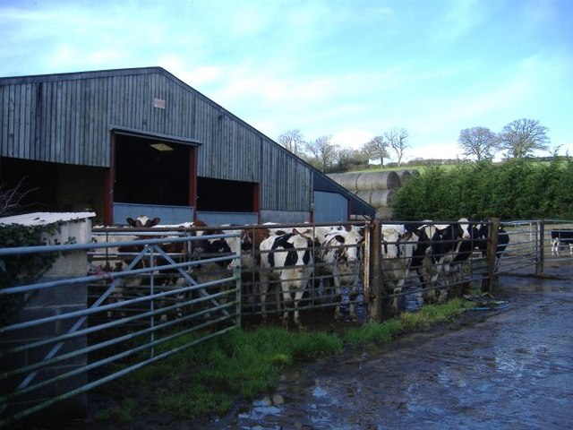 Cattle at Horsells farm