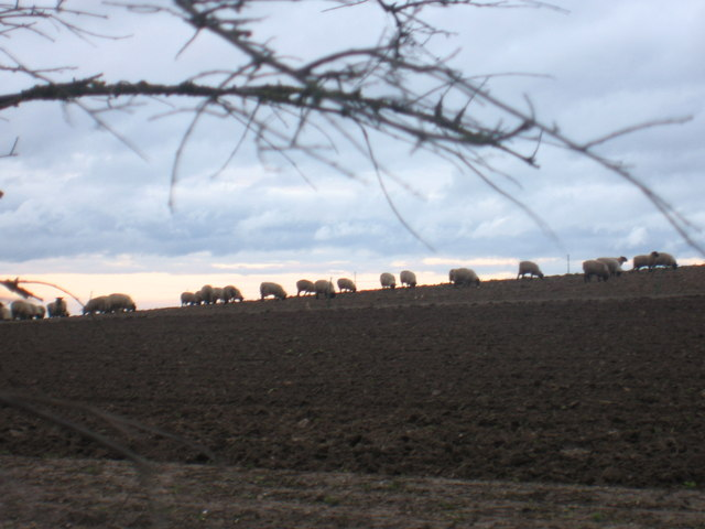 Sheep grazing on farm at Stone Hill