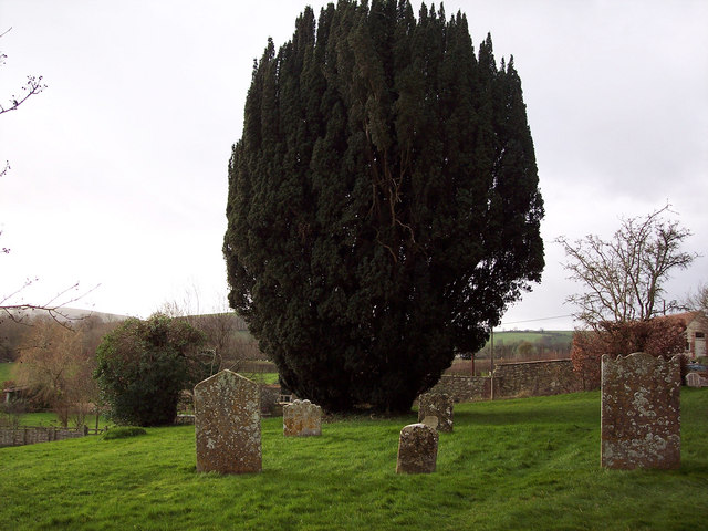 Yew Tree at St Marys Church