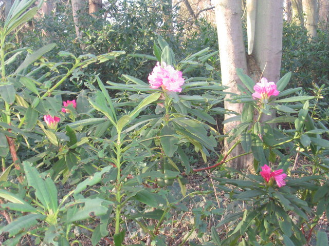 Rhododendron in Sheringham Park