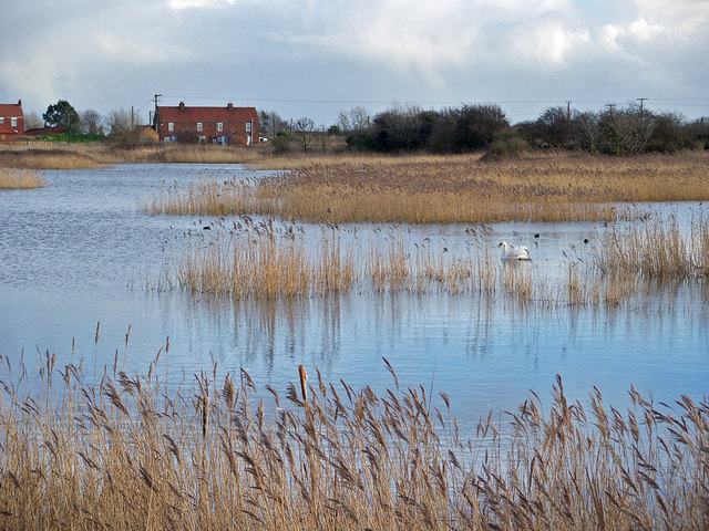 Reedbed with Swan