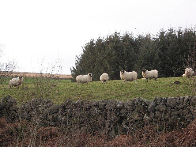 Sheep, Falbae