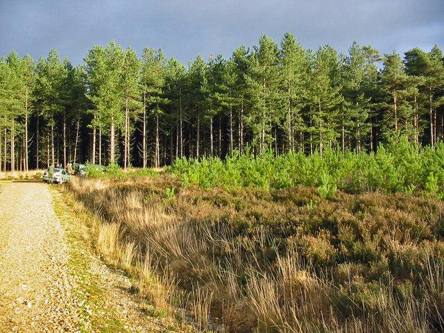 Forestry, near Alderholt, Dorset