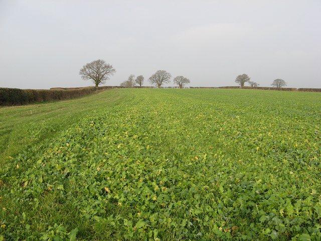 Turnip field, Vale of Wigmore