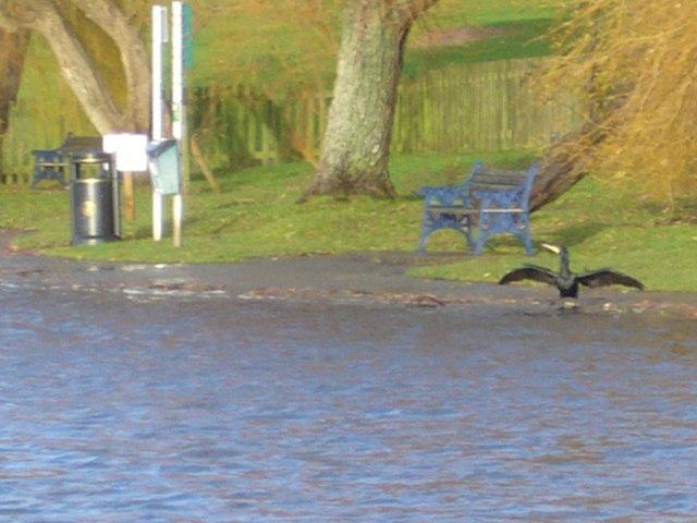 Cormorant sunbathing, Portishead