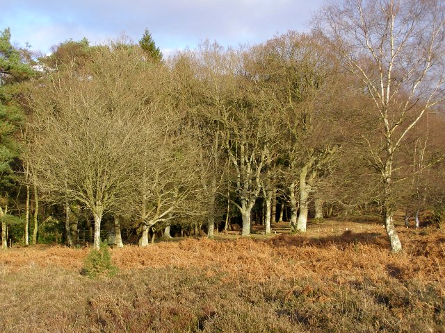 Heathland edge, near Linwood, New Forest