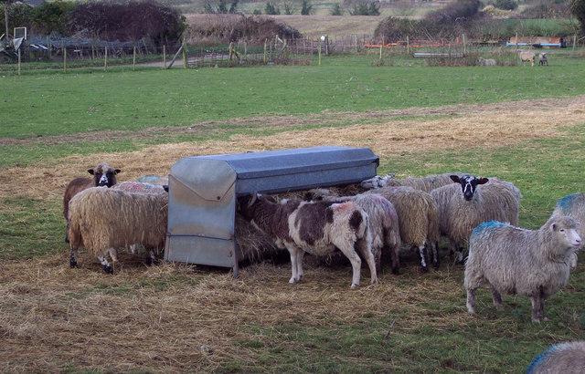 Sheep at Knap Barrow Farm