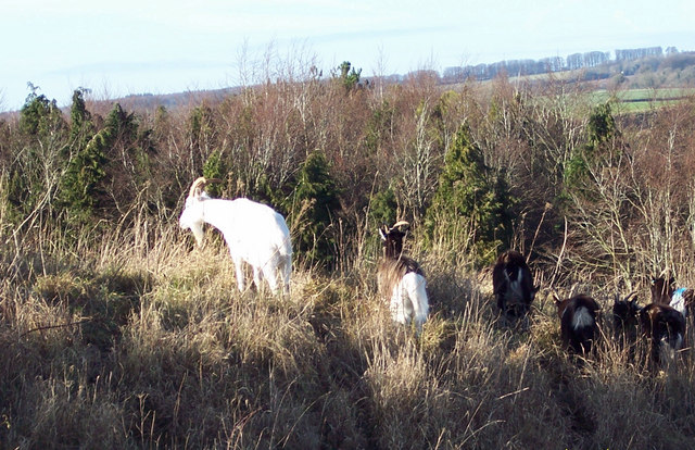 Goats on Bokerley Ditch