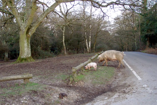 Sow and piglet near the Red Shoot Inn, New Forest