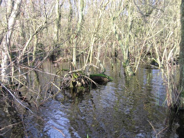 Alder swamp, Broad Fen, Dilham, Norfolk