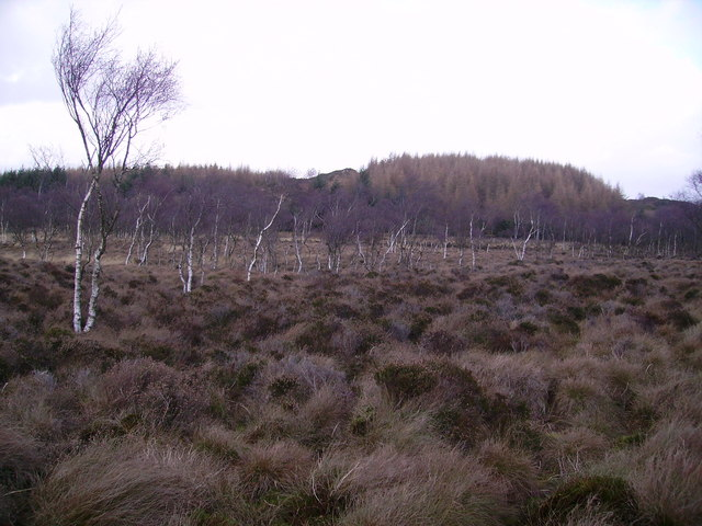 Bog and Birches