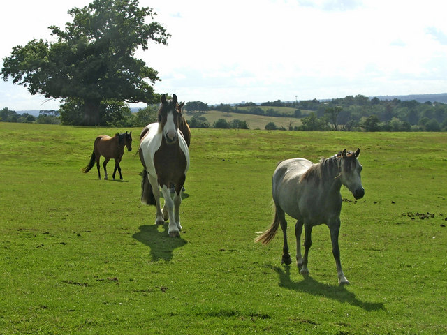 Horses on farmland near Long Street, Upshire, Essex