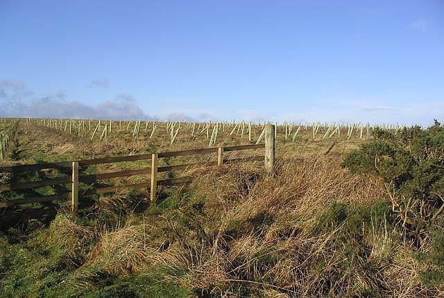 Tree planting on Mosshouses Moor