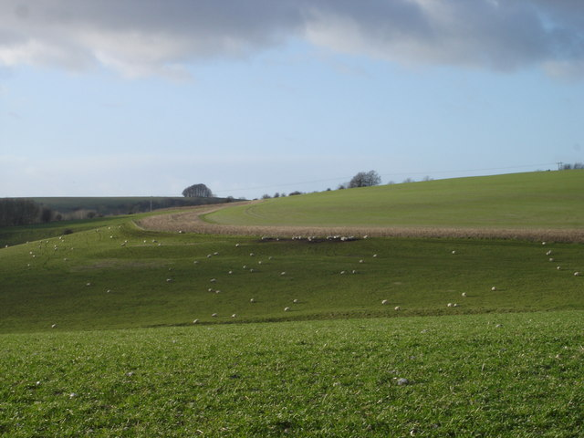 Sheep graze on the edge of Rotherley Down