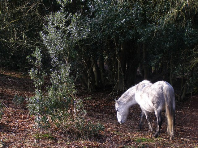 Pony in Wick Wood, New Forest