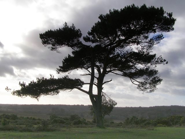 Isolated Scots pine tree, Bratley View, New Forest