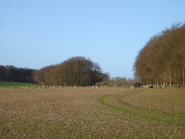 Sheep grazing near Tollard Royal
