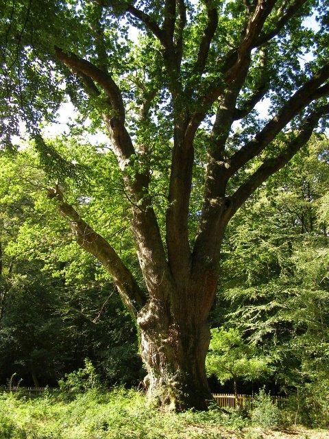 Knightwood Oak in early September
