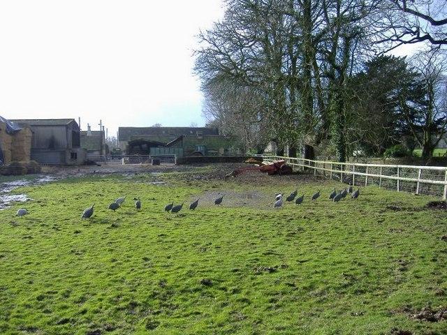 Guinea fowl at Badminton farm